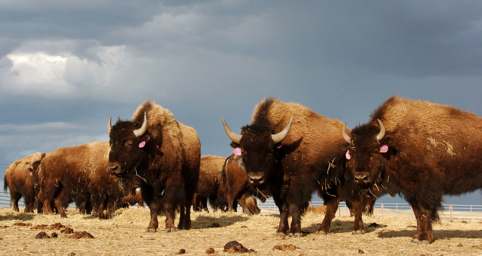 Photo - FILE - In an April 24, 2012, file photo, a herd of bison stand in a pen on the Fort Peck Reservation near Poplar, Mont. Bison have not been part of the sweeping landscape just east of the Northern Rockies of Montana and Canada for more than a century, but Blackfoot Confederacy leaders say they are ready to bring the animal back. (AP Photo/Matthew Brown, File)