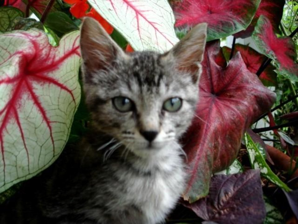Camo Kitty loves playing in the flower pots. Caladiums are his favorite.<br/><b>Community Photo By:</b> Cindy Jurina<br/><b>Submitted By:</b> Cindy, Guthrie