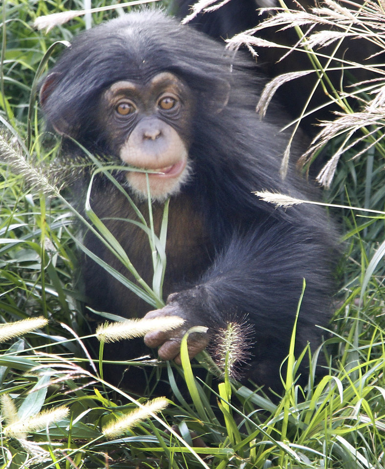 Ruben, a young male chimpanzee, plays in the grass at the Oklahoma City Zoo. Photos By Steve Gooch, The Oklahoman