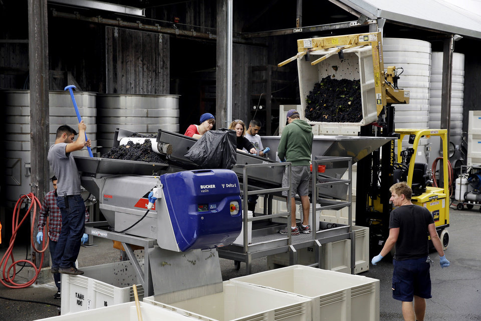 Photo - Cellar workers sort grapes as they go into a destemmer during the first day of harvest at Saintsbury winery Friday, Aug. 29, 2014, in Napa, Calif. The winery began its harvest four days late after sustaining earthquake damage on Sunday. The winery also lost half its library of wines. (AP Photo/Eric Risberg)