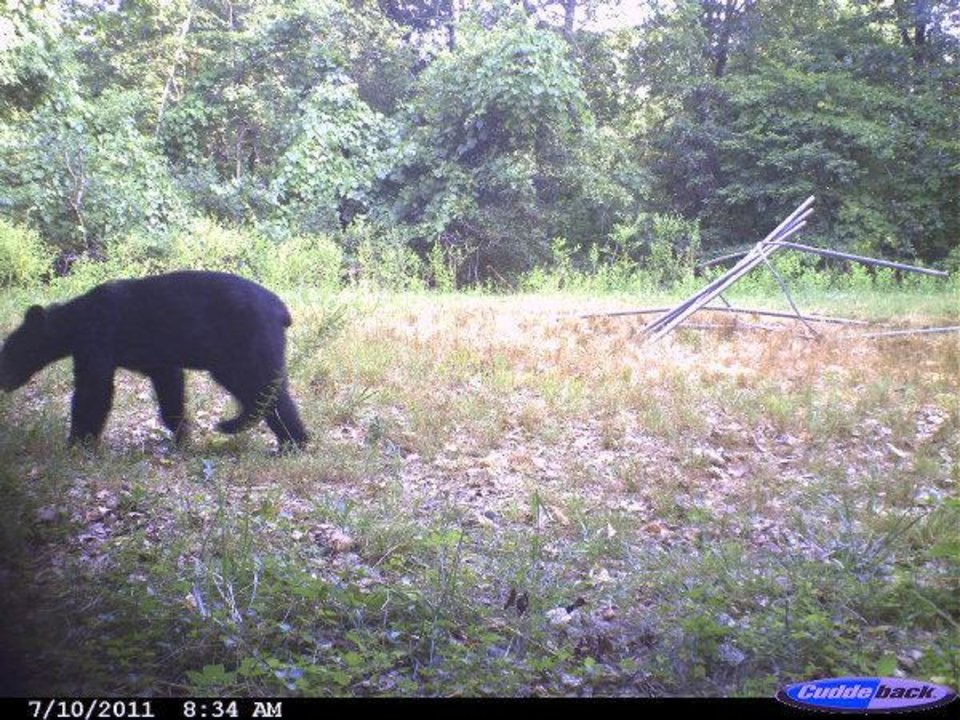 Photo - This bear was caught on film in Cherokee County  Gary Hardesty - PHOTO PROVIDED
