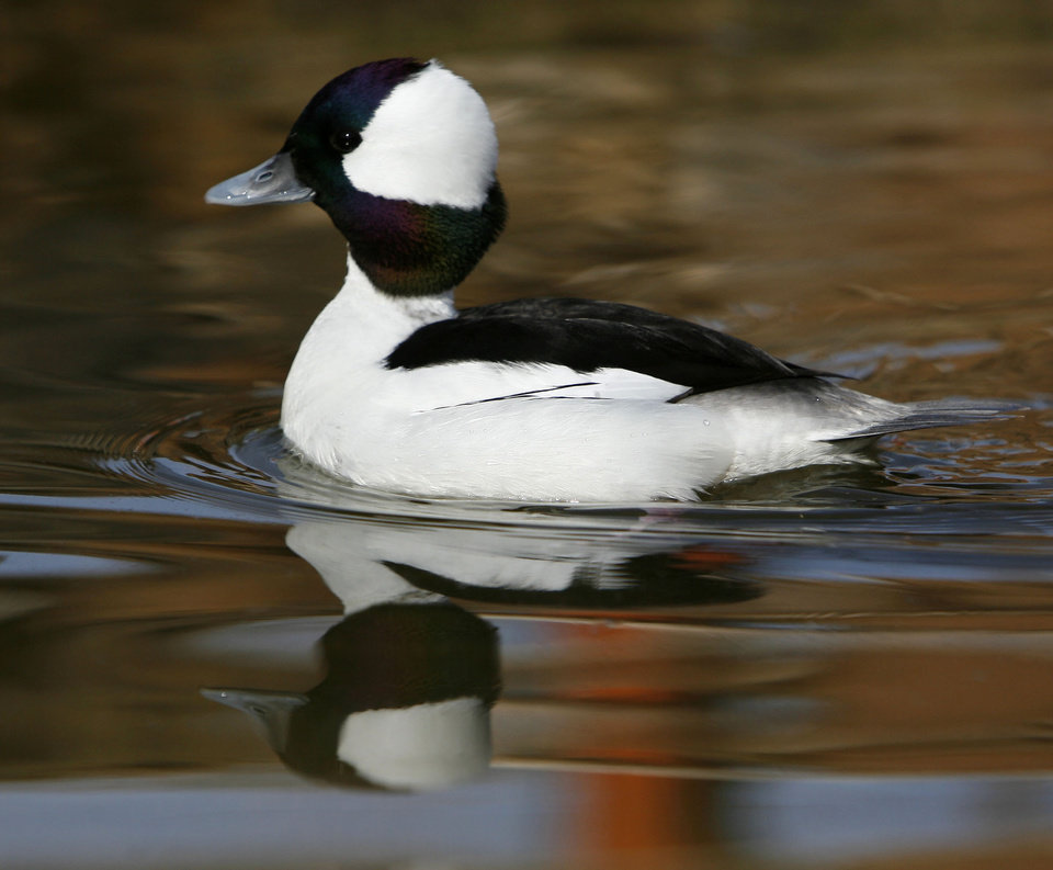 Photo - A Bufflehead duck swims through the aviary at the soon-to-be-opened