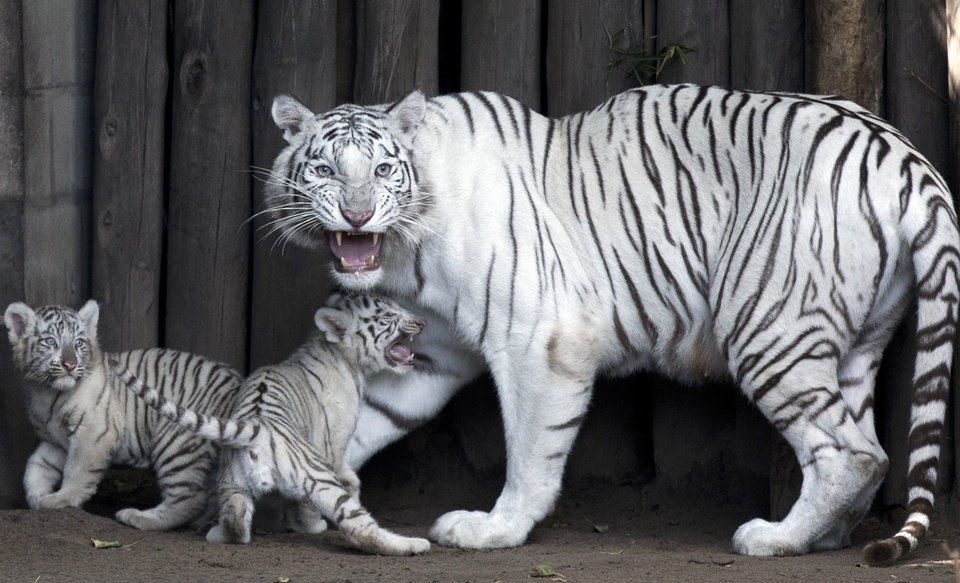 Photo - Cleo, a female Bengal white tiger, stands with two of her four cubs at the Buenos Aires Zoo, Argentina, Thursday, March 21, 2013.  Cleo gave birth to two females and two males on Jan. 14. (AP Photo/Natacha Pisarenko)