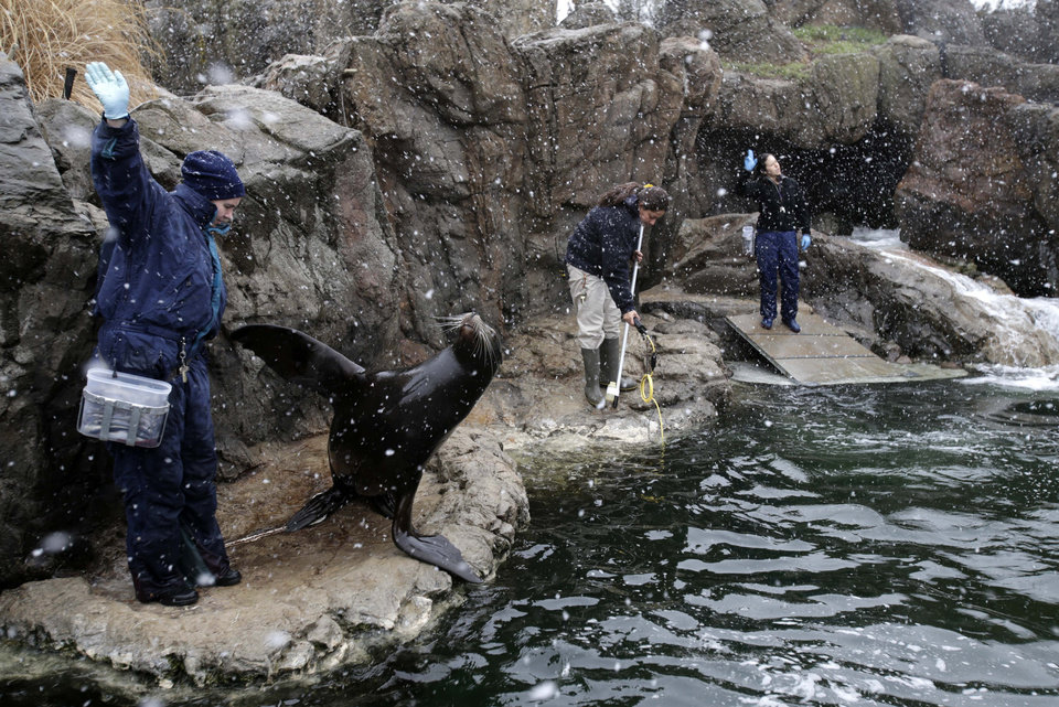 Photo - New York Aquarium employees, including Lora Murphy, left, feed and train sea lions as snow falls at the aquarium in New York, Monday, March 25, 2013. A wide-ranging storm is hitting the East Coast after blanketing the Midwest and burying thoughts of springtime weather under a blanket of heavy wet snow and slush, though less snow was predicted to fall as the storm moves eastward. (AP Photo/Seth Wenig)