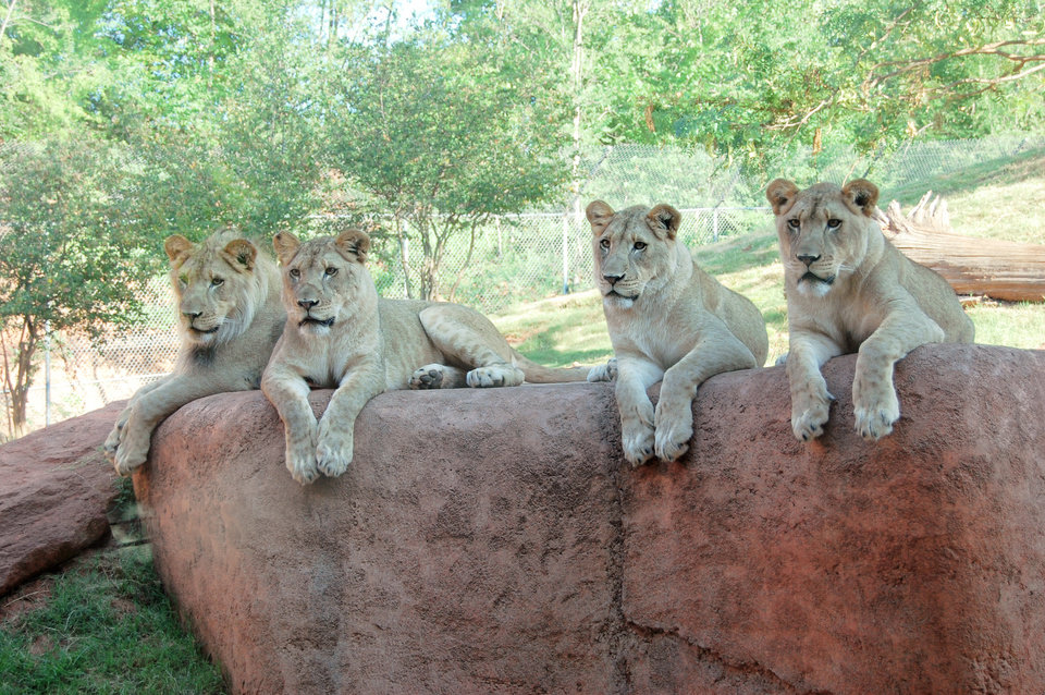 The Oklahoma City Zoo's four lion cubs are, from left, Xerxes, Kalliope, Malaika and Zari.  PHOTO PROVIDED BY THE OKLAHOMA CITY ZOO