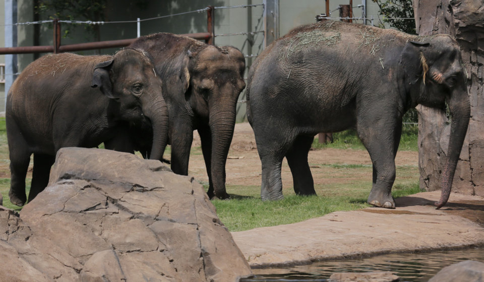 Photo - From left to right Chandra, Bamboo and Chai stand next to each other at the Oklahoma City Zoo and Botanical Garden, Friday, June 26, 2015, in Oklahoma City. Photo by Sarah Phipps, The Oklahoman