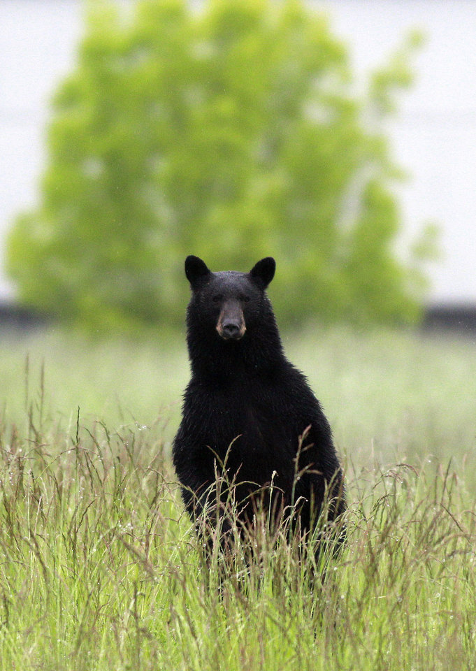 An adult black bear looks over the grass near the Tualatin Elementary School on Wednesday in Tualatin, Ore. Police in Tualatin, just south of Portland, tracked the bear roaming in a wooded area near the school. The bear dashed away from the school and climbed a tree. He was then tranquilized by authorities. AP Photo