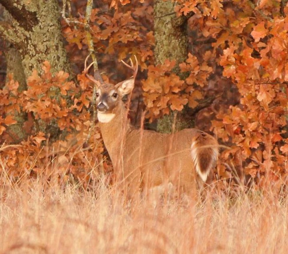 Photo -  Oklahoma's most popular hunting season, the 16-day deer gun season, opened Saturday. The Oklahoma Department of Wildlife Conservation may ask the Oklahoma Wildlife Conservation Commission to add another week to the season next year. [PHOTO BY ALAN MCGUCKIN]