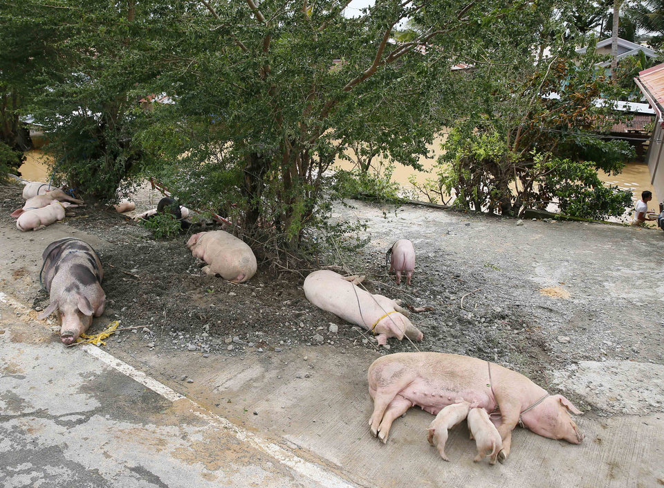 Photo - Pigs rest on a higher portion of the highway after being evacuated to safety following the flooding brought about by Typhoon Koppu at Zaragosa township Nueva Ecija province north of Manila, Philippines Monday, Oct. 19, 2015. Slow-moving Typhoon Koppu blew ashore with fierce wind in the northeastern Philippines early Sunday, toppling trees and knocking out power and communications and forcing the evacuation of thousands of villagers.(AP Photo/Bullit Marquez)