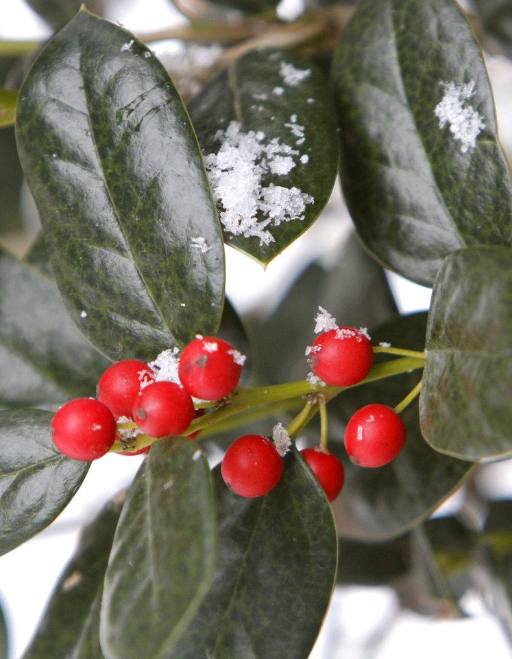 Photo - Snow begins to collect on a Holly bush in Edmond, OK, Tuesday, December 25, 2012,  By Paul Hellstern, The Oklahoman