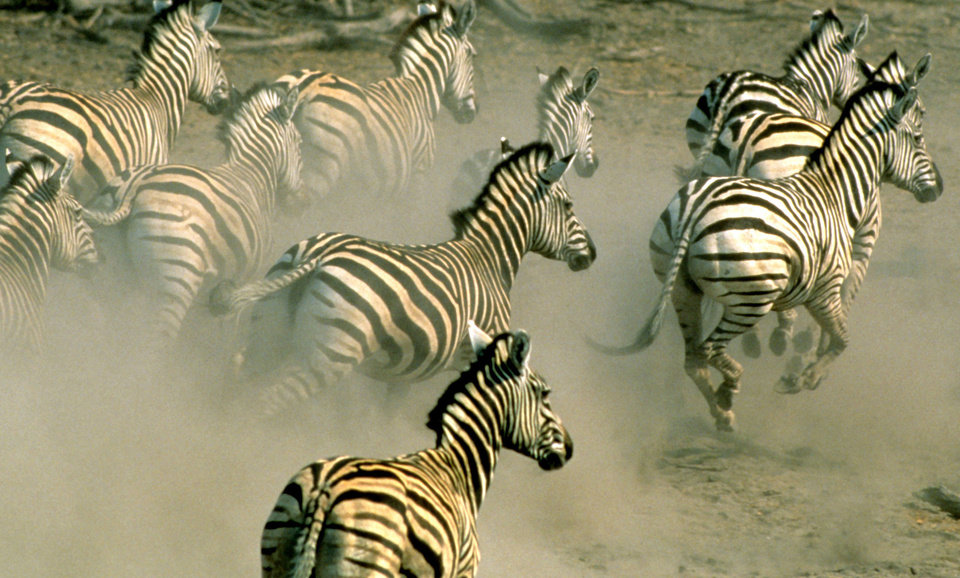 Photo - In this undated handout photo supplied by the World Wildlife Fund (WWF), zebra run on a plain in northern Botswana. Thousands of zebra were monitored during a 500 kilometers (300 miles) roundtrip journey, a newly discovered trek that wildlife experts say reaches farther than any other known land migration in Africa. The newfound migration is a rare bright spot at a time when mass movements of wildlife are disappearing because of fencing, land occupation and other human pressures, a conservation specialist said.  (AP Photo/HO-World Wildlife Fund International - Martin Harvey)   MANDATORY CREDIT