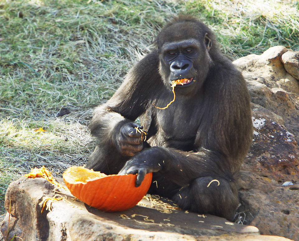 A gorilla eats a pumpkin Friday at the Oklahoma City Zoo. Special Halloween-themed treats will be given to the animals at the zoo this weekend.  PHOTO BY DAVID MCDANIEL, THE OKLAHOMAN