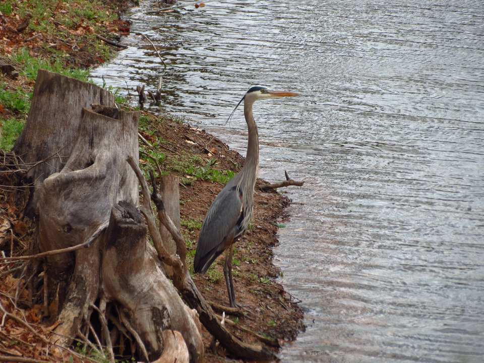 Great Blue Heron in Stillwater - Photo by Jerry Bettis