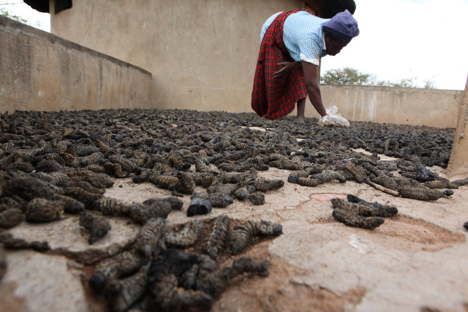 Photo - In this photo taken Monday Jan. 7, 2013, Mavis Nkomo places harvested mopane worms outside to dry, outside her home in Gwanda, Zimbabwe. In Zimbabwe as well as most parts of southern Africa, mopane worms are a staple part of the diet in rural areas and are considered a delicacy in the cities. They can be eaten dry, as crunchy as potato chips, or cooked and drenched in sauce. (AP Photo/Tsvangirayi Mukwazhi)