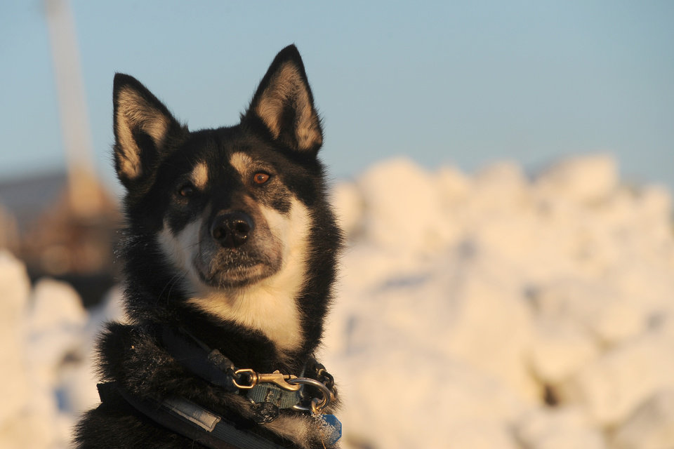 Photo - Trix, a team dog for Iditarod musher John Baker, from Kotzebue, AK, keeps an eye on the musher at the Unalakleet checkpoint at sunrise during the 2014 Iditarod Trail Sled Dog Race on Sunday, March 9, 2014. (AP Photo/The Anchorage Daily News, Bob Hallinen)
