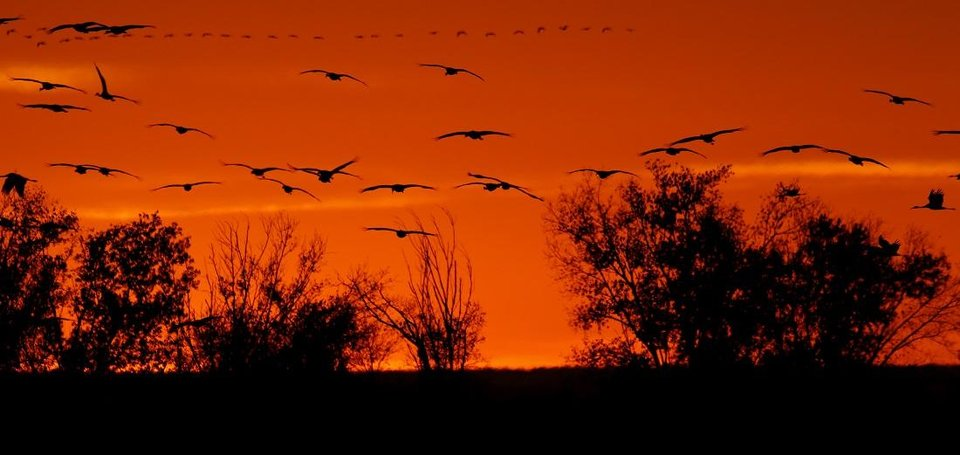 Photo - Sandhill cranes fly over the Salt Plains National Wildlife Refuge at sunset in Alfalfa County, Sunday November, 20 2016. [The Oklahoman Archives]