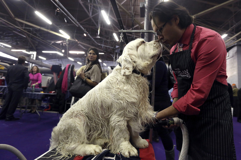 Gustavo Jimenez grooms 3-year-old Clumber Spaniel Seymor during the 137th Westminster Kennel Club dog show, Monday, Feb. 11, 2013, in New York. (AP Photo/Mary Altaffer) ORG XMIT: NYMA112