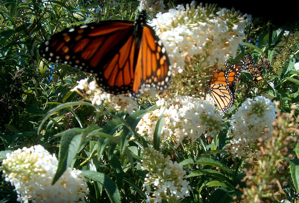 These Monarch butterflies just love Oklahoma butterfly bush flowers.<br/><b>Community Photo By:</b> Jon Heavener<br/><b>Submitted By:</b> Carolyn, Oklahoma City