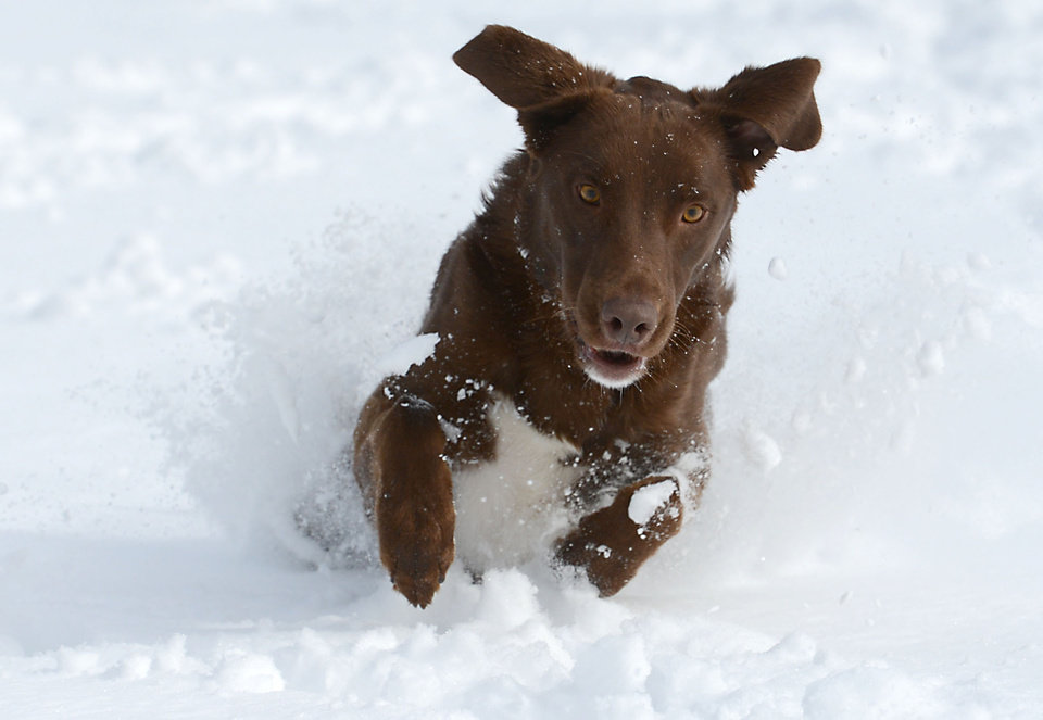 Photo - Atticus, a two-year-old chocolate lab mix, gets ready to pounce on a tennis ball at City Park in Fort Collins Monday May 12, 2014 after a spring storm brought over a foot of snow to parts of Colorado, Wyoming and Nebraska and thunderstorms and tornadoes to the Midwest.  (AP Photo/Fort Collins Coloradoan, V. Richard Haro)