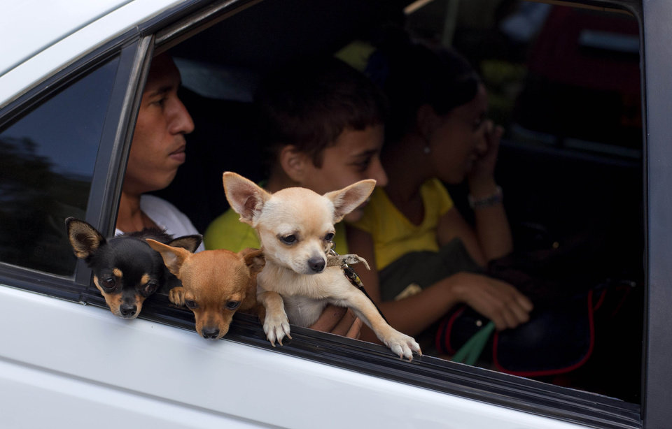 In this Nov. 25, 2012 photo, three chihuahua dogs peer out the car window as they arrive to be shown off at the Fall Canine Expo in Havana, Cuba. Hundreds of people from all over Cuba and several other countries came for the four-day competition to show off their shih tzus, beagles, schnauzers and cocker spaniels that are the annual Fall Canine Expo�s star attractions. (AP Photo/Ramon Espinosa)