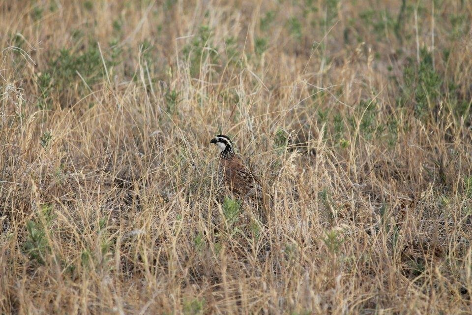 Photo -  Bobwhite quail populations seem to be on the rise this year along with Qual Forever chapters. Four new Quail Forever chapters have formed across the state in recent months. Photo by Weston Storer, For The Oklahoman