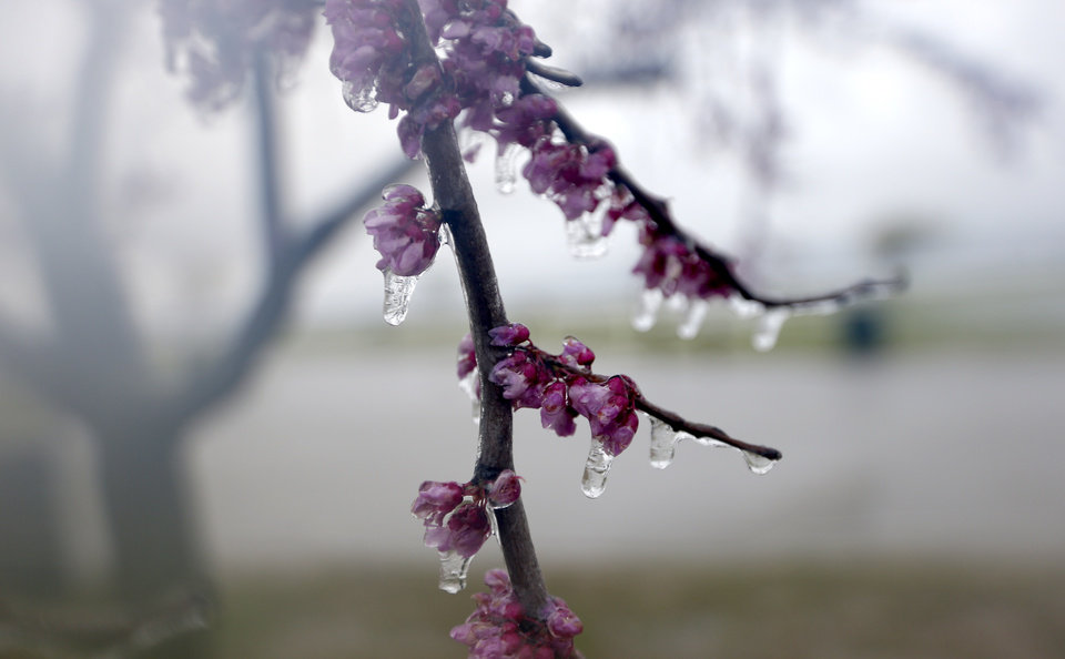 Ice forms on a redbud tree at Lake Hefner during a rainstorm, Wednesday, April 10, 2013, in Oklahoma City. Photo by Sarah Phipps, The Oklahoman