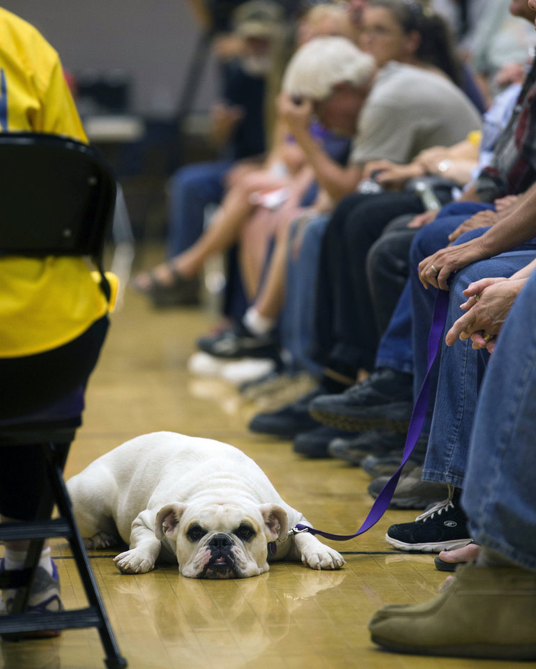 Photo - Payton, a 3 year-old English bulldog, lays on the floor at the Red Cross Shelter during a community meeting for Yarnell Hill Fire evacuees at the Red Cross Shelter in Wickenburg, Ariz. on Saturday, July 6, 2013. Nineteen Granite Mountain Hotshot firefighters were killed by the out-of-control blaze near Yarnell, Ariz. on June 30. (AP Photo/The Arizona Republic, Michael Chow)