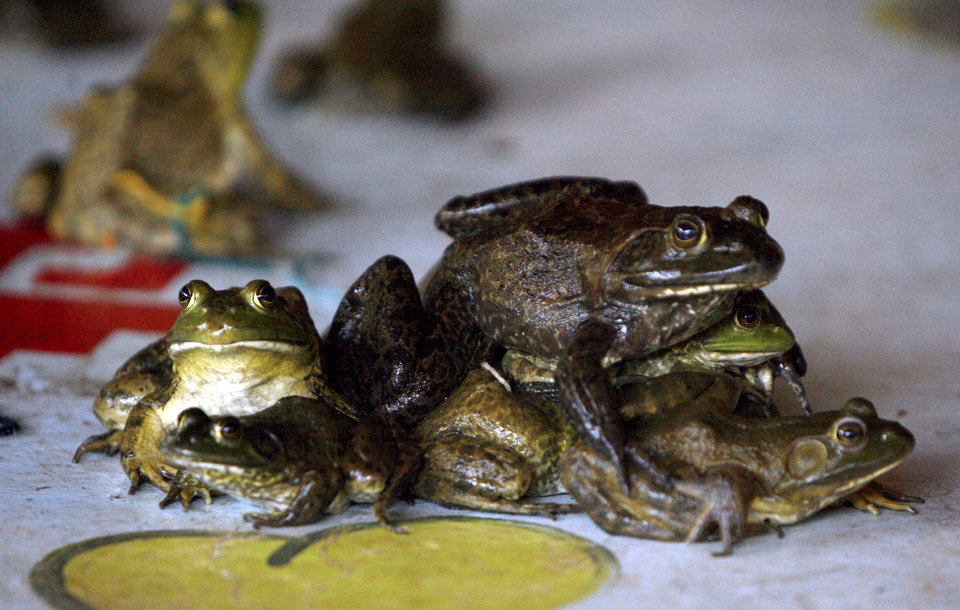 Photo - Frogs sit on top of each other during frog and turtle races, Wednesday, June 24, 2009, at  Camp DaKaNi in Oklahoma City. Photo by Sarah Phipps, The Oklahoman ORG XMIT: KOD