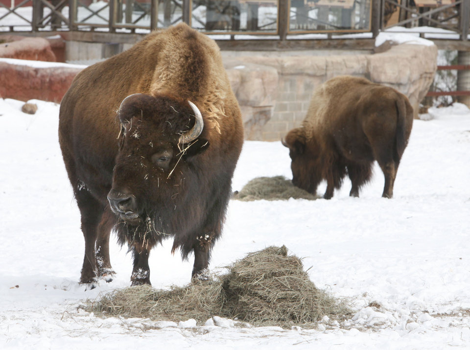 Photo - Bison feed in the snow at the Oklahoma City Zoo in Oklahoma City, OK, Thursday, Feb. 3, 2011. By Paul Hellstern, The Oklahoman