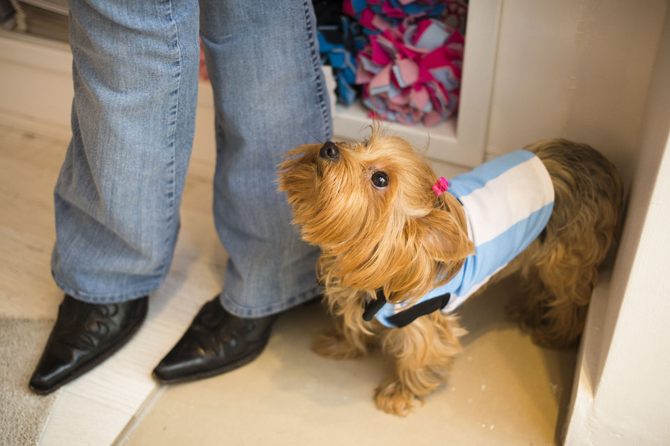 Photo - A dog wearing a garment resembling the jersey of Argentina's national soccer squad looks up at her owner inside a pet store in Buenos Aires, Argentina, Thursday, June 5, 2014. The pet store put on sale a number of garments with the colors of the Argentine flag ahead of the World Cup that starts next week in Brazil. (AP Photo/Victor R. Caivano)