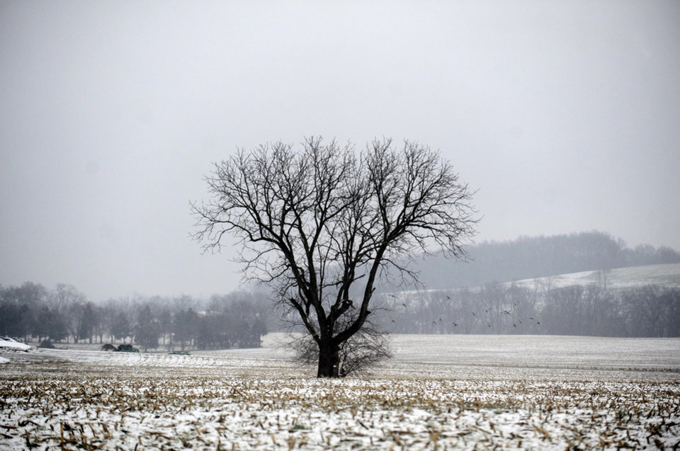 Photo - A snow dusted cornfield in Culpeper county shows the effects of a winter storm. An overnight storm brought rain, snow and ice to the Culpeper area on Wednesday, Dec. 26 2012. (AP Photo/The Free Lance-Star, Reza A. Marvashti)