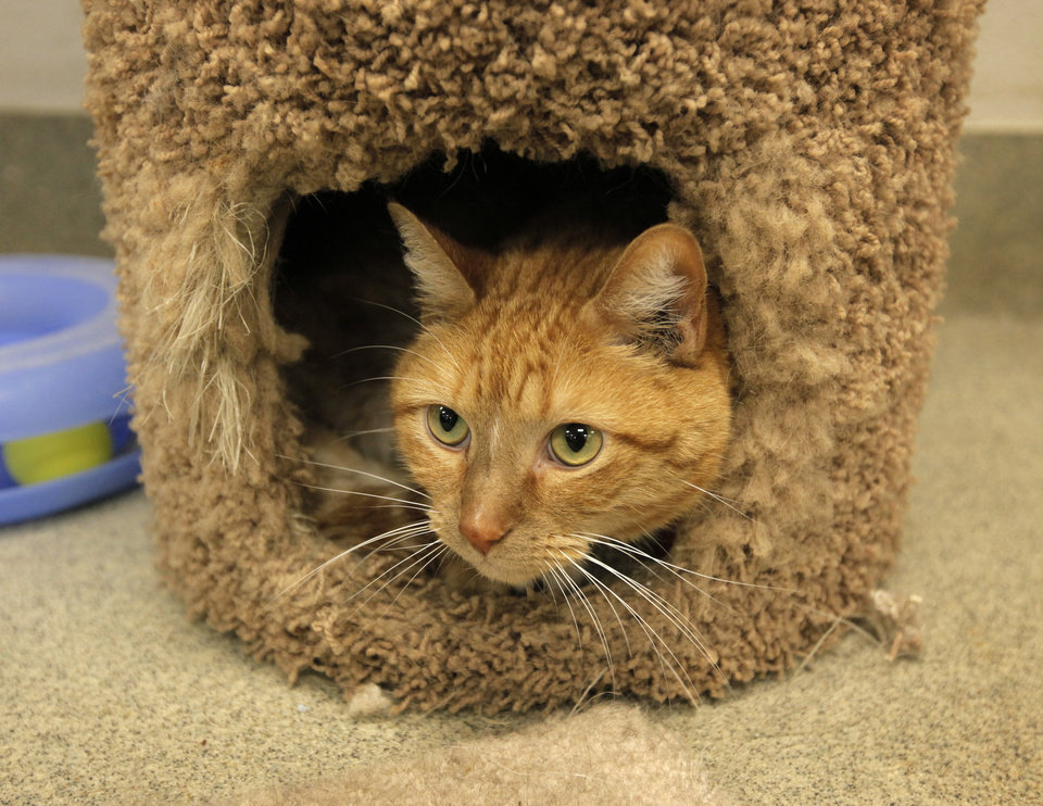 Photo - Tigger (A106170), a male cat, peeks out of a scratching post in a cat adoption room at the Oklahoma City Animal Shelter, 2811 SE 29th St., in Oklahoma City, Wednesday, March 14, 2012. Photo by Nate Billings, The Oklahoman