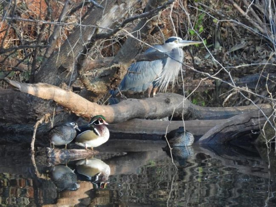 Photo -  A great blue heron and two wood ducks hang out at Silver Lake in Oklahoma City on Saturday. The annual Christmas Bird Count was held Saturday in Oklahoma City. [PHOTO BY KATHLEEN TUCKER]