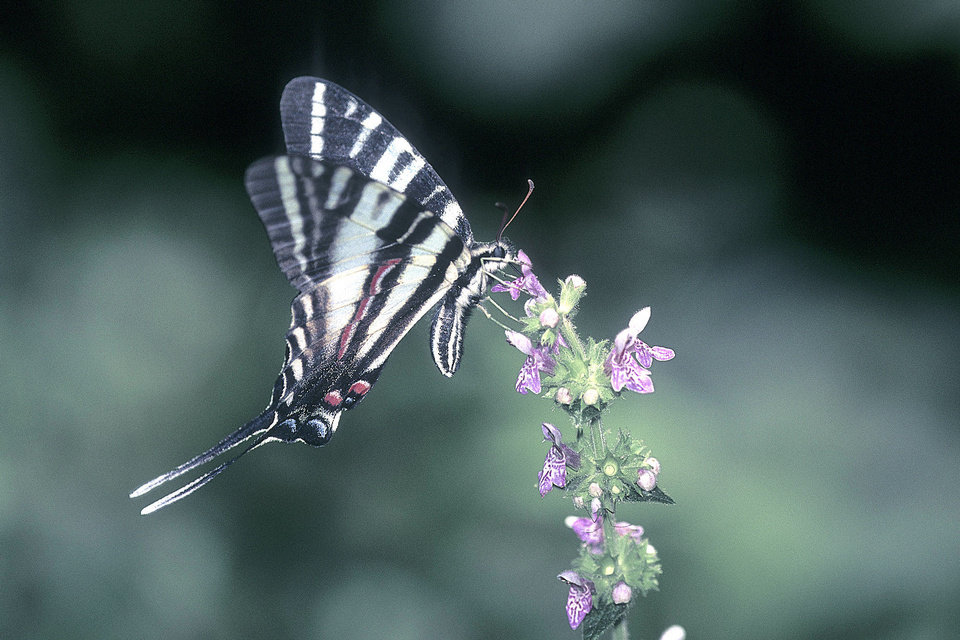 A Zebra Swallowtail, Eurytides marcellus, gathers nectar from a horsemint. On the day this photo was taken, dozens of the butterflies were observed on a small patch of these flowers deep on a trail in the pine forests of the Ouachita National Forest in southeastern Oklahoma. <strong>Bryan E. Reynolds</strong>