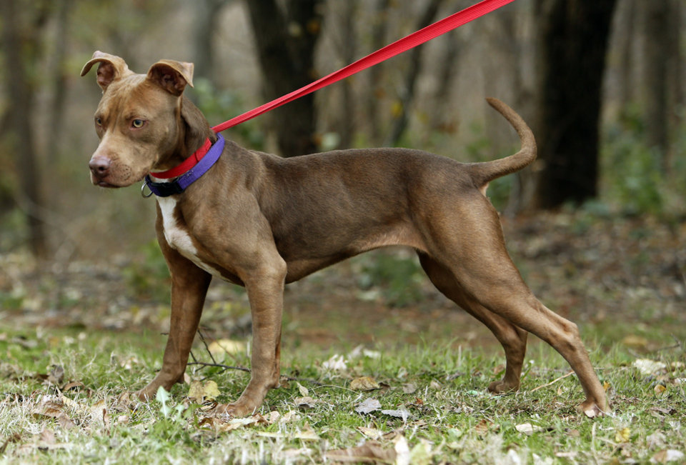 Photo - Scotia is a one-year-old, pit bull/lab mix available at Second Chance Animal Sanctuary on Tuesday, Nov. 24, 2015, in Norman, Okla.  She is a spayed female, has an identifying microchip implant, is current on shots and tests, and is available for a fee of $125.  She is friendly, smart, but doesn't get along with other dogs.  Scotia weighs around 30 pounds.  Second Chance's phone number is 405-321-1915.