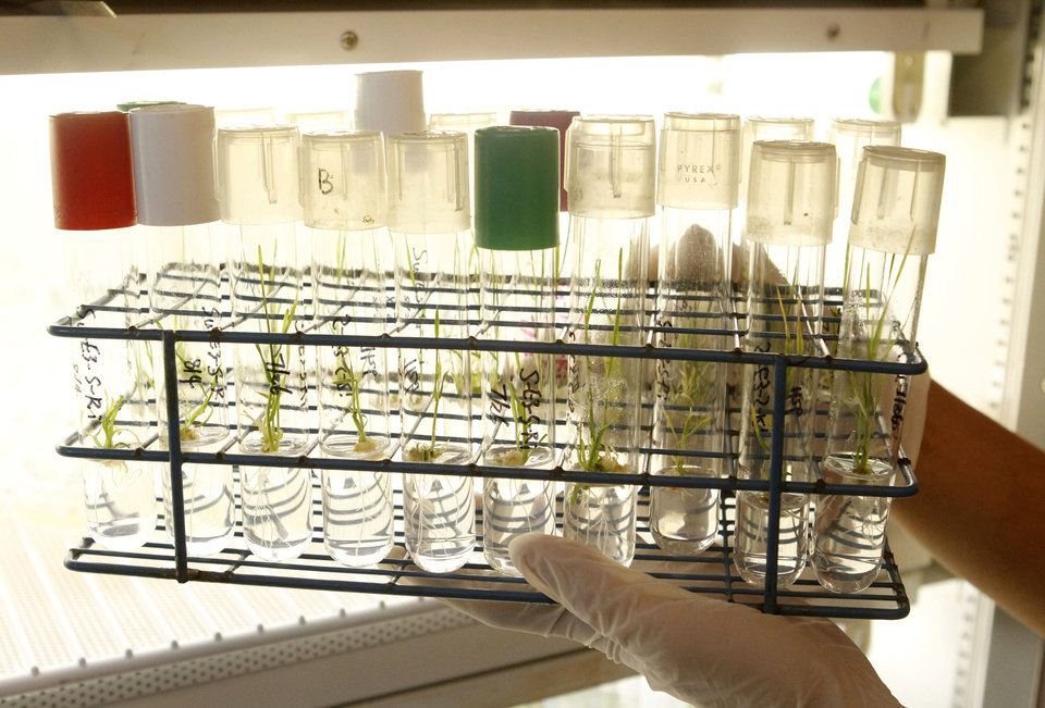 Photo - A researcher looks at genetically modified wheat sprouts at the Noble Research Center on the campus of Oklahoma State University in Stillwater.  PHOTO BY PAUL HELLSTERN, THE OKLAHOMAN  PAUL HELLSTERN - Oklahoman