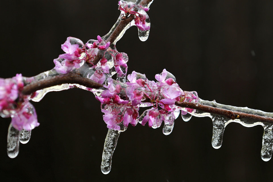 Ice covers a redbud tree Wednesday in Yukon after wintry weather brought sleet and rain to parts of Oklahoma and left branches covered in ice.  PHOTO BY STEVE GOOCH, THE OKLAHOMAN