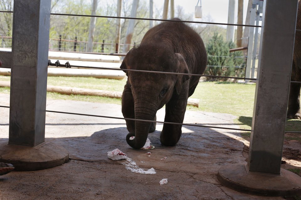 Photo - Malee eats her birthday cake during her Second Birthday Bash at the Oklahoma City Zoo, Sunday, April 14, 2013.  Photo by Garett Fisbeck, For The Oklahoman