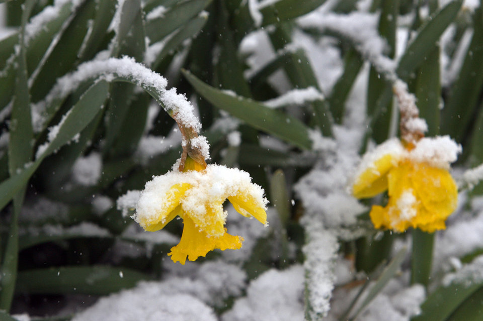 Photo - Daffodils hang under the weight of snow near the Missouri History Museum in Forest Park on Sunday, March 24, 2013, in St. Louis. A storm dumped 7 to 9 inches of snow from eastern Kansas into central Missouri before tapering off this morning. (AP Photo/St. Louis Post-Dispatch, J.B. Forbes)