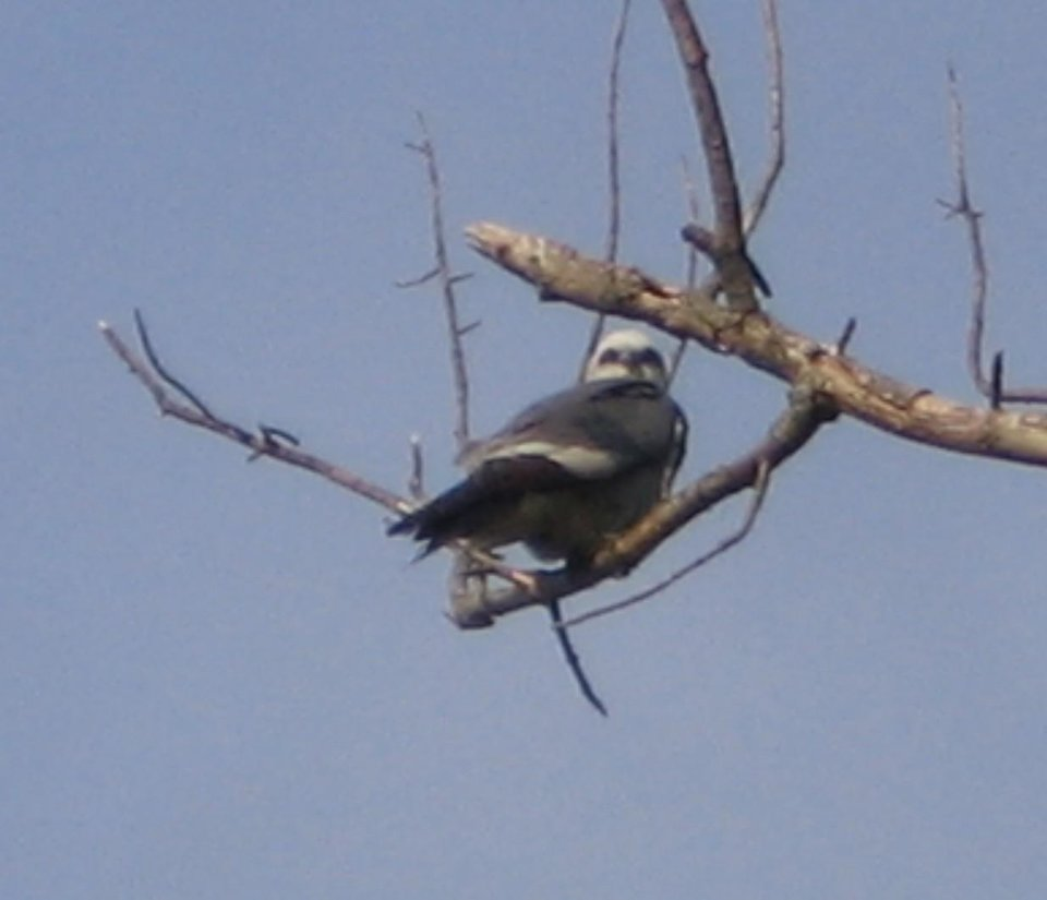 Mississippi Kite<br/><b>Community Photo By:</b> Harry Shearer<br/><b>Submitted By:</b> Harry, Bethany