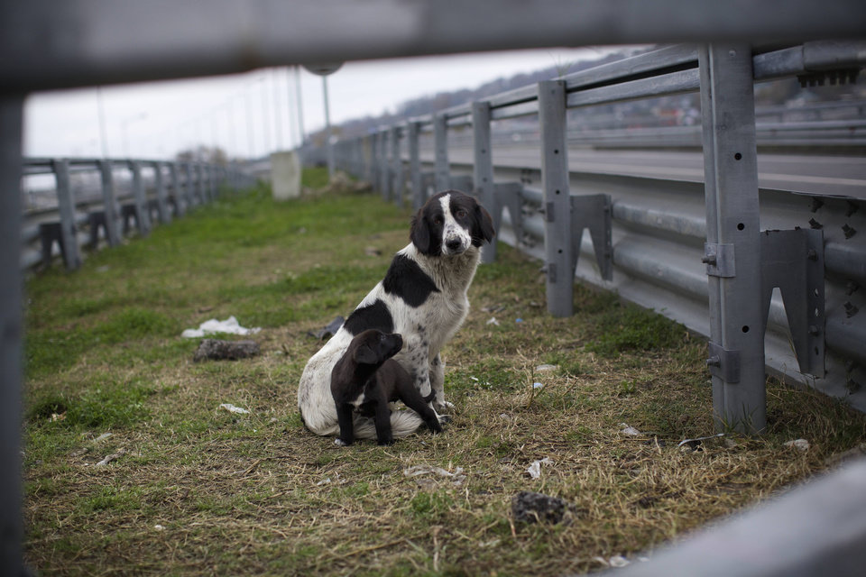 Photo - In this photo taken on Thursday, Nov. 28, 2013, a stray dog and its puppy sit behind the railings in the middle of a highway outside Sochi, Russia. As the Winter Games are getting closer, many Sochi residents are complaining that their living conditions only got worse and that authorities are deaf to their grievances. (AP Photo/Alexander Zemlianichenko)