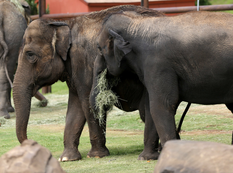 Photo - Bamboo and Chandra walk together at The Oklahoma City Zoo and Botanical Garden, Friday, June 26, 2015, in Oklahoma City. Photo by Sarah Phipps, The Oklahoman