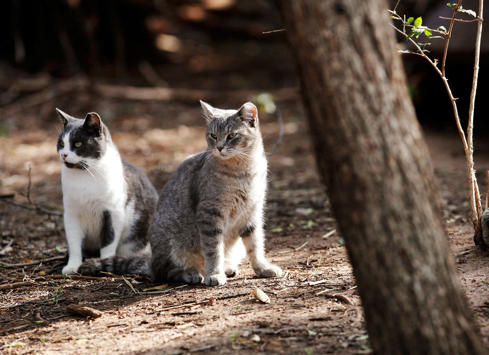 A pair of feral cats are near a colony at Lake Hefner. In Yukon, the city council recently passed an ordinance restricting the feeding of feral cats inside city limits.  Photo by Jim Beckel, The Oklahoman