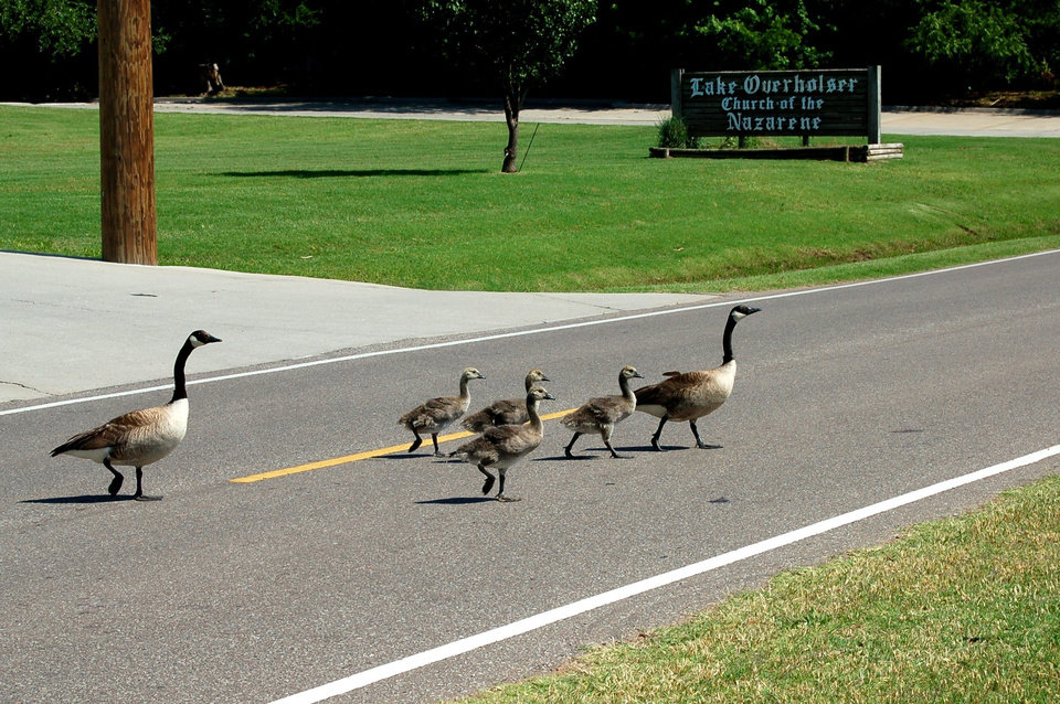 These geese appear to be quite content after leaving church.<br/><b>Community Photo By:</b> Eldon<br/><b>Submitted By:</b> Eldon, Bethany