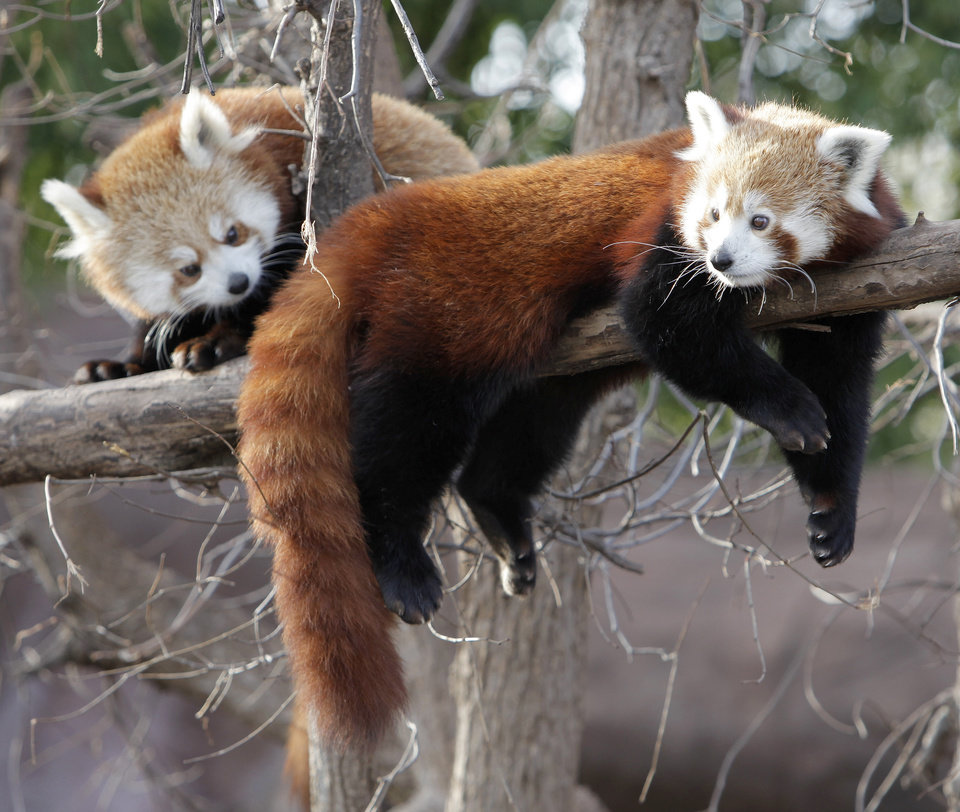Photo - Red pandas hang out at the Oklahoma City Zoo in Oklahoma City, Tuesday, January 26, 2010. Photo by Nate Billings, The Oklahoman ORG XMIT: KOD