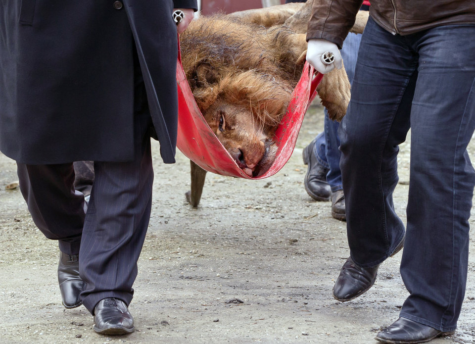 A sedated lion is carried on a stretcher, at the estate of Ion Balint, known to Romanians as Nutzu the Pawnbroker, a notorious gangster, in Bucharest, Romania, Wednesday, Feb. 27, 2013. Authorities along with specialists of the animal welfare charity Vier Pfoten removed four lions and two bears that were illegally kept on the estate of one of Romania's most notorious underworld figures who reportedly used them to threaten his victims. Balint was arrested on Feb. 22, with dozens of others on charges of attempted murder, depriving people of their freedom, blackmail and illegally holding arms. (AP Photo/Vadim Ghirda)