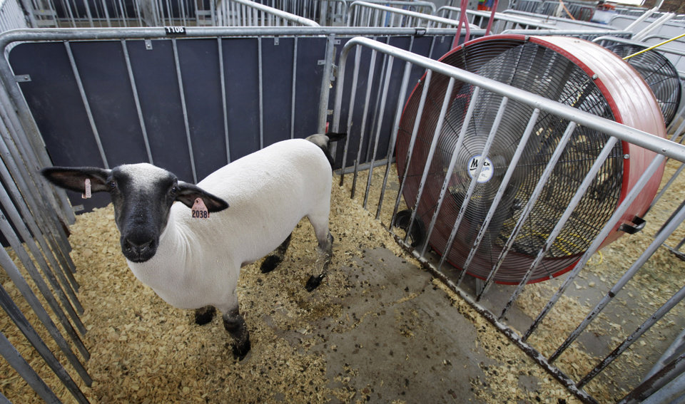 Photo -   A sheep stands in front of a large fan in its pen at the All-American Junior Sheep Show at the Iowa state fairgrounds, Thursday, July 5, 2012, in Des Moines, Iowa. Oppressive heat is slamming the middle of the country with record temperatures that aren't going away after the sun goes down. (AP Photo/Charlie Neibergall)