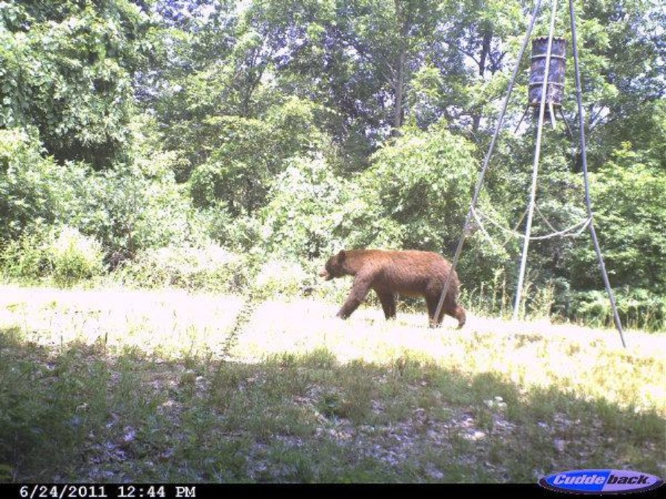 This bear was caught on a camera that was mounted on a tree north of Tahlequah. Gary Hardesty - PHOTO PROVIDED