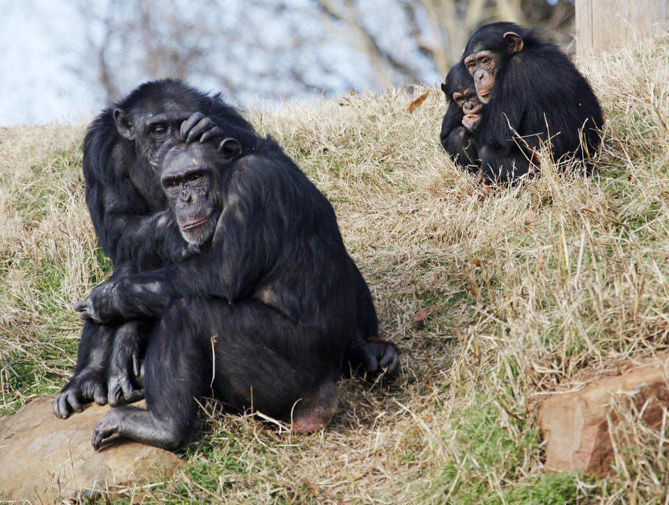 From left, chimpanzee Mwami grooms Abby as Siri and Zoe sit together at the Oklahoma City Zoo in Oklahoma City, Thursday, Dec. 15, 2011. Photo by Nate Billings, The Oklahoman