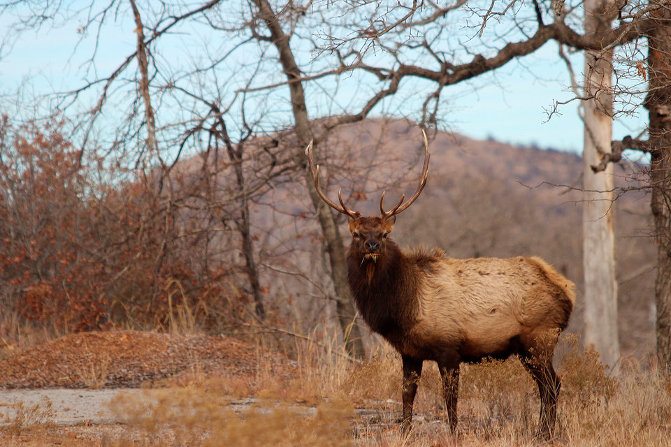 Bull Elk - Wichita Mountains Wildlife Refuge